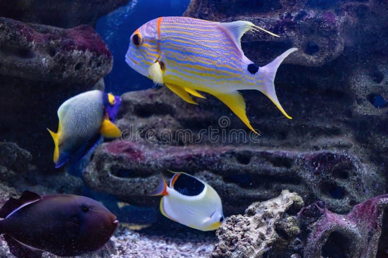 水下的世界的卢西安风船Symphorichthys Spilurus掠食性居民 库存照片
