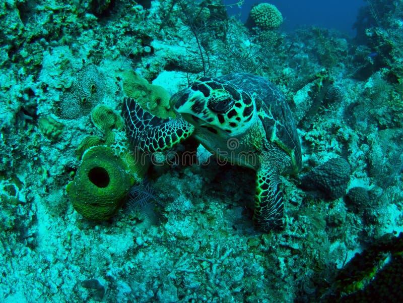 水下的乌龟 免版税库存照片