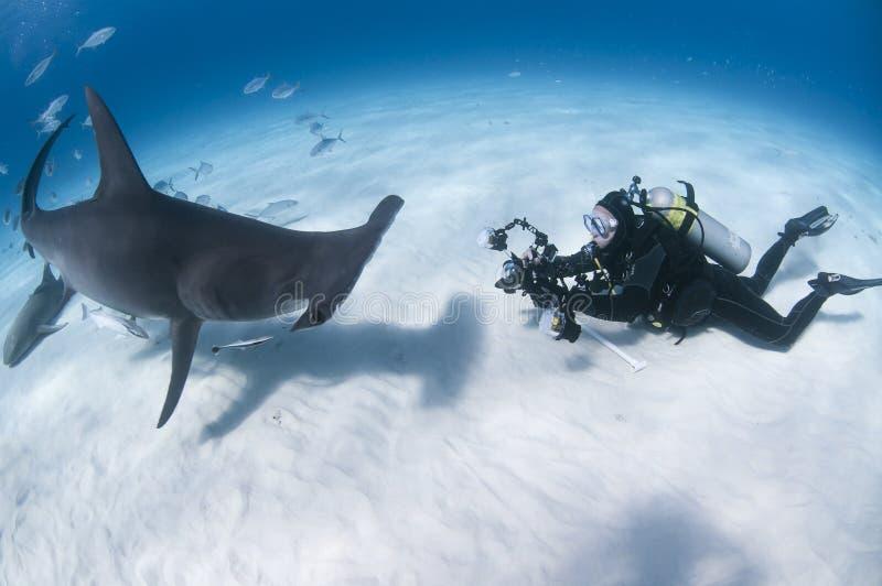 水下的摄影师面对面与伟大的双髻鲨在巴哈马的清楚的水域中 免版税图库摄影