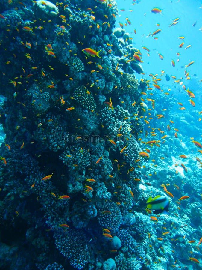 水下的海洋生物在有色的鱼的红海,埃及,宰海卜 图库摄影