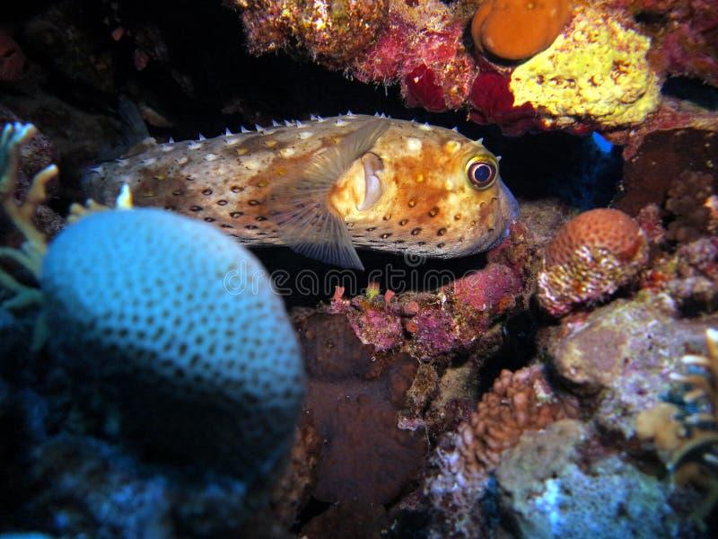 水下的生活:珊瑚在热带水域中 免版税图库摄影
