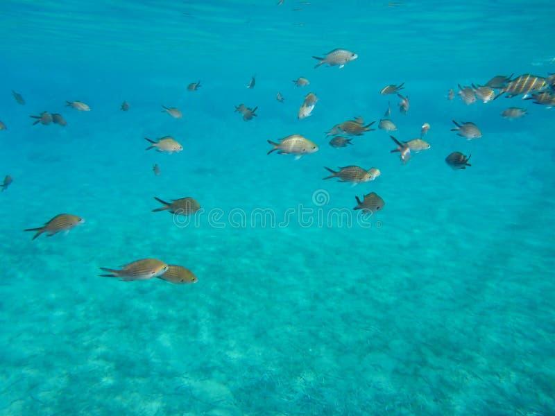 水下的生活kalogries、雀鲷或者地中海Chromis在Kolona双海湾基斯诺斯岛海岛基克拉泽斯希腊 库存照片