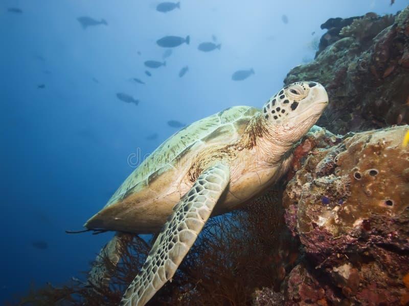 水下的绿海龟 免版税库存图片