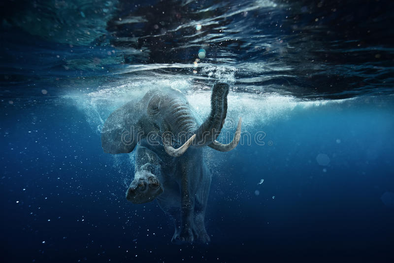 水下的非洲大象在蓝色海洋水中 库存图片
