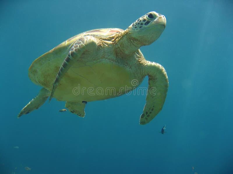 水下绿浪sipadan的乌龟 免版税库存图片