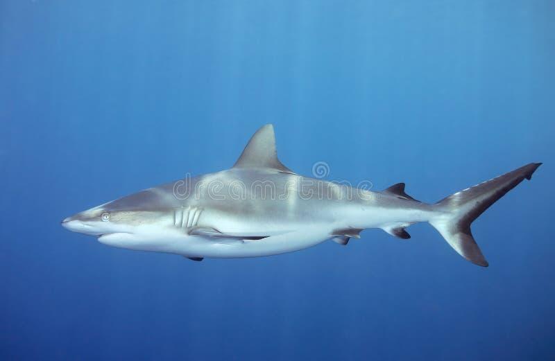 水下鲨鱼的游泳 图库摄影