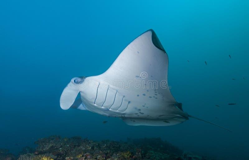 水中在马尔代夫,黄貂鱼生成一个精妙的图象 免版税库存照片