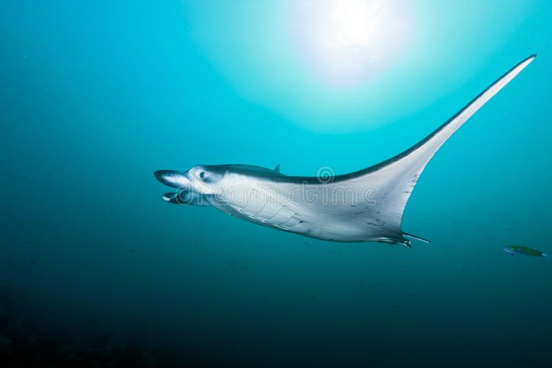 水中在马尔代夫,黄貂鱼生成一个精妙的图象 库存图片