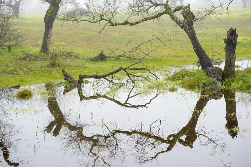 水中无叶树的倒影 库存照片