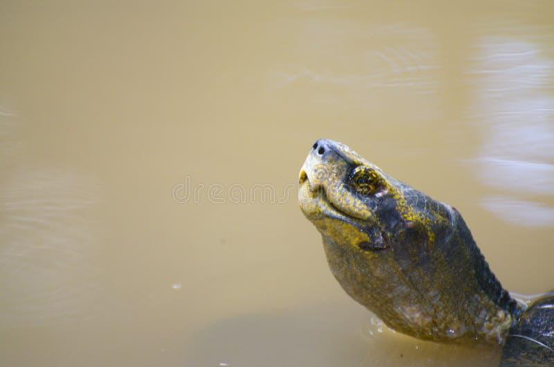 水乌龟 甲壳动物的爬行动物 库存照片