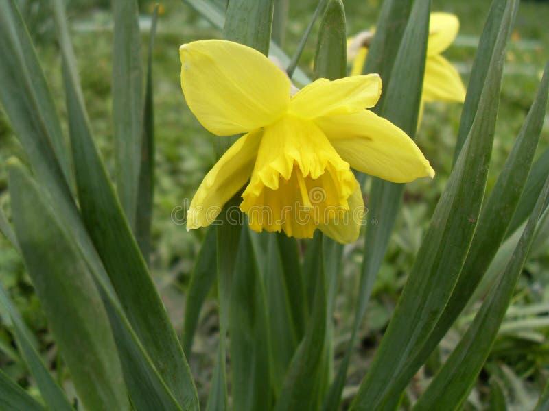 水仙染黄一户外绿化叶子 免版税库存照片