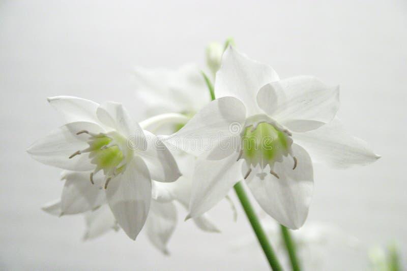水仙白色 免版税库存照片