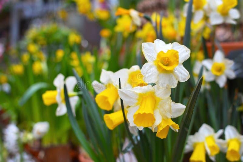水仙Tazetta与白色瓣和黄色喇叭的春天花在与其他花的模糊的背景 库存照片