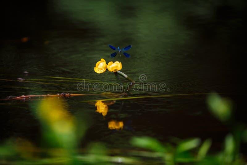水厂、荷花和若虫在湖 图库摄影