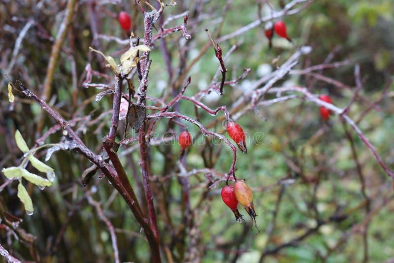 水在一朵野生玫瑰结冰了在雨以后 莓果和叶子用冰盖 库存图片