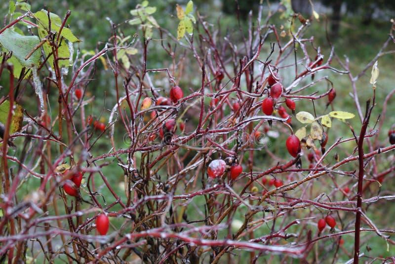 水在一朵野生玫瑰结冰了在雨以后 莓果和叶子用冰盖 免版税库存照片