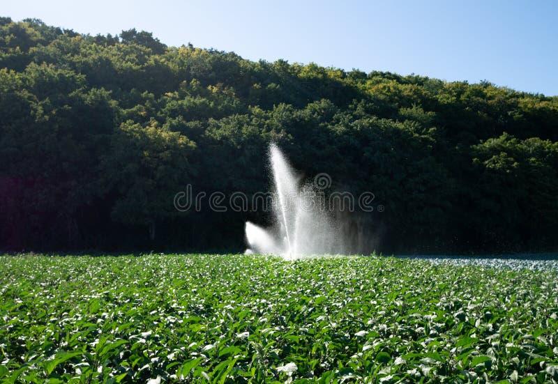 水在早晨太阳的洒水装置在种植园 库存图片