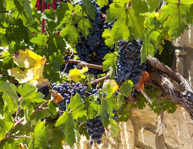 水多的成熟葡萄赤霞珠 希腊的葡萄园 免版税库存照片
