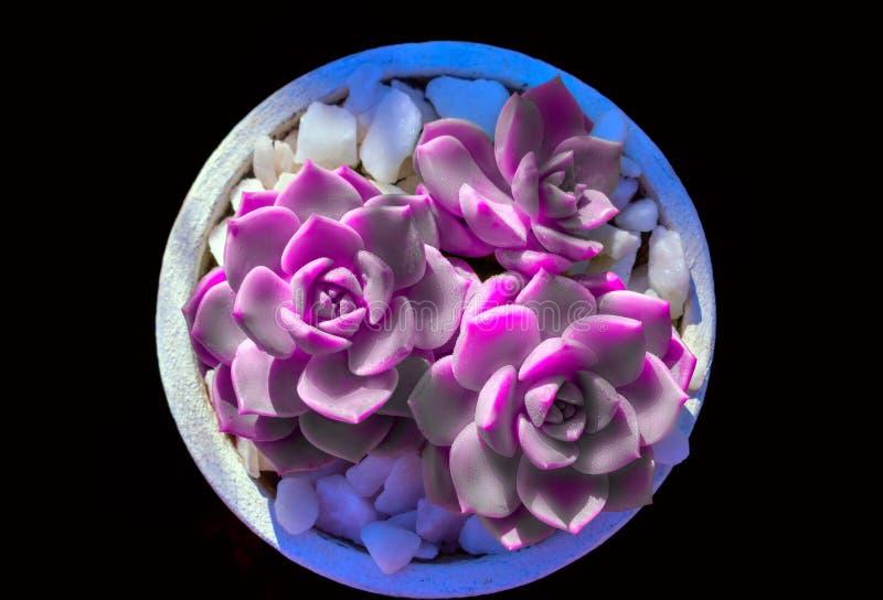 水多的紫色仙人掌和白色石头在一个罐在黑背景 r 图库摄影