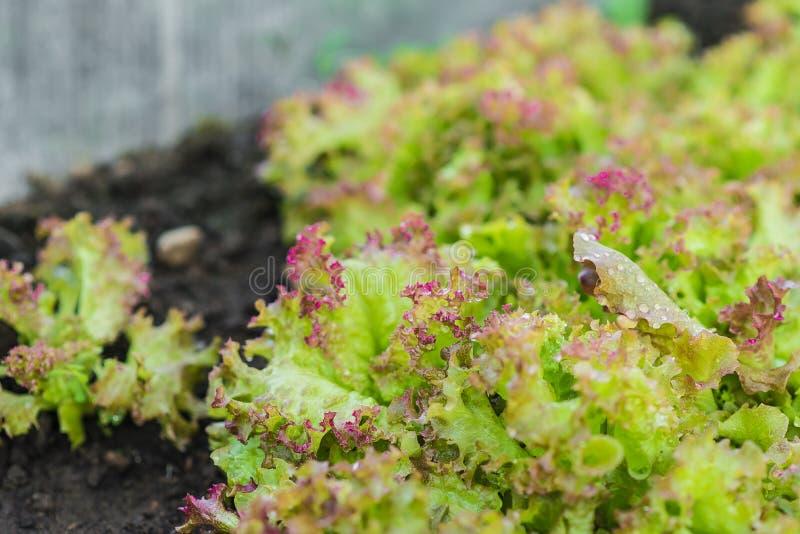 水多的绿色和红色莴苣在庭院床上增长 免版税库存图片