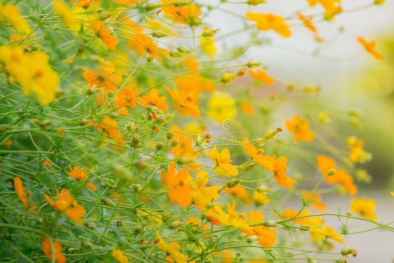 水平的图象 掀动花树 黄色开花波斯菊美好的自然背景开花 库存图片