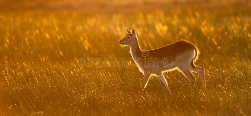 水平, lechwe的颜色照片,水羚属leche,在耳朵 库存照片