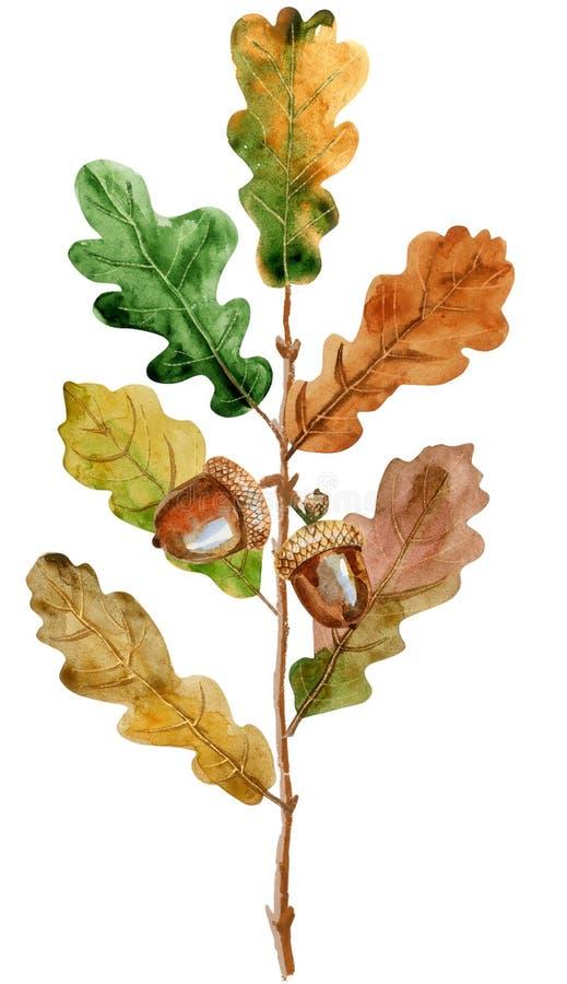 水彩与叶子和橡子的橡木分支 向量例证