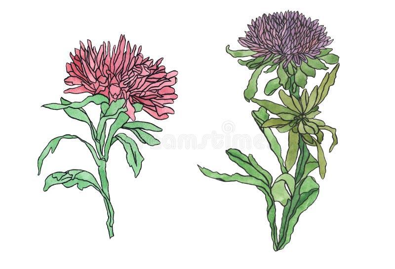 水彩例证与叶子艺术nouveau的花翠菊 皇族释放例证