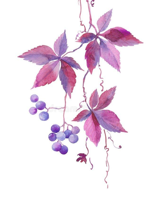 水彩例证,野生少女藤,蓝色紫罗兰色莓果,秋天植物,剪影分支  库存例证
