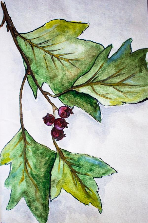 水彩图片与莓果和叶子水彩例证的山楂树分支 库存例证