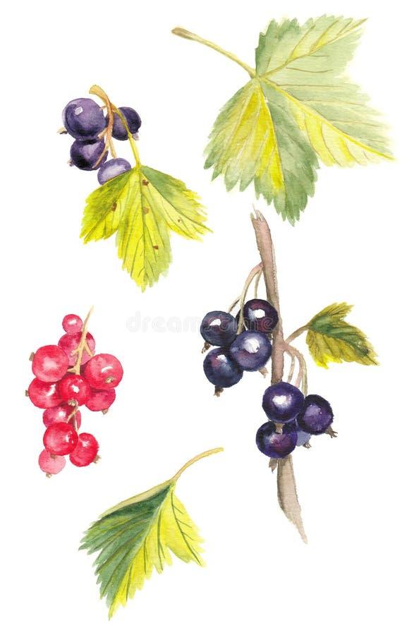 水彩在白色背景的黑和红浆果例证 向量例证
