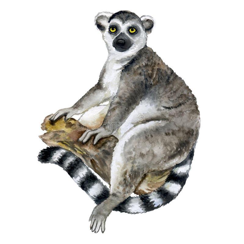 水彩在白色背景隔绝的马达加斯加环纹尾的狐猴或狐猴catta特写镜头画象 手拉甜热带 皇族释放例证