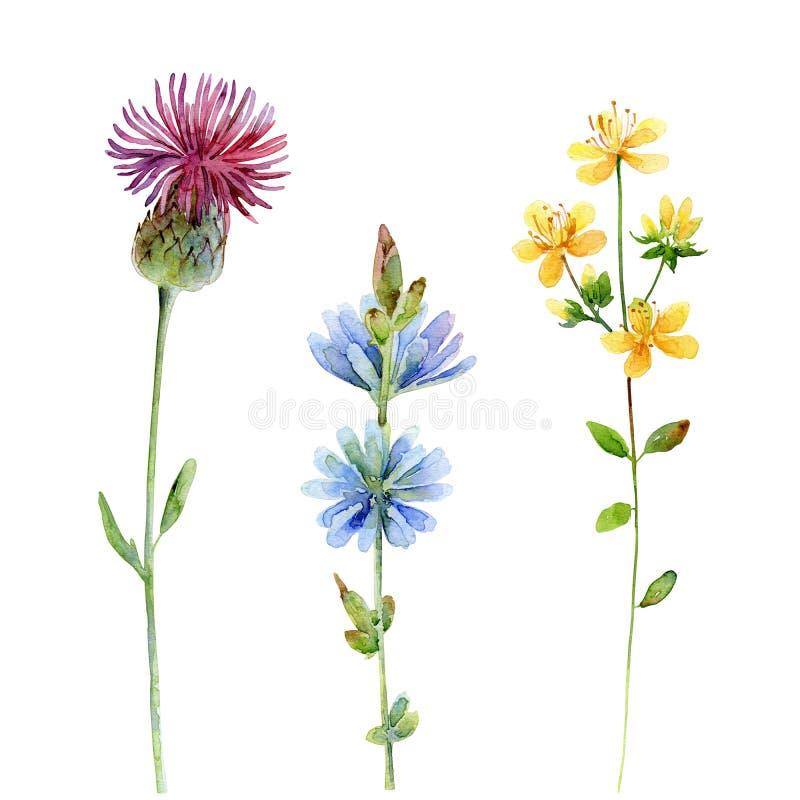 水彩套野花 蓟、金丝桃属植物和苦苣生茯在白色背景 皇族释放例证