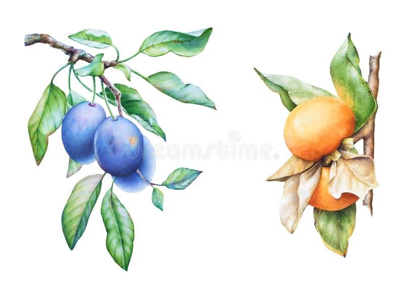 水彩手拉的李子和柿树分支 库存例证
