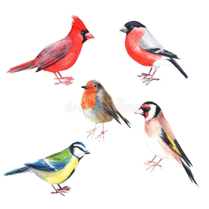 水彩手画鸟主教 明亮的例证在白色背景的被隔绝的元素 黑红色灰色颜色羽毛 向量例证