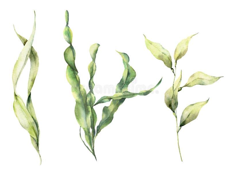 水彩昆布属植物集合 与海藻的手画水下的花卉例证在白色留下分支被隔绝 皇族释放例证