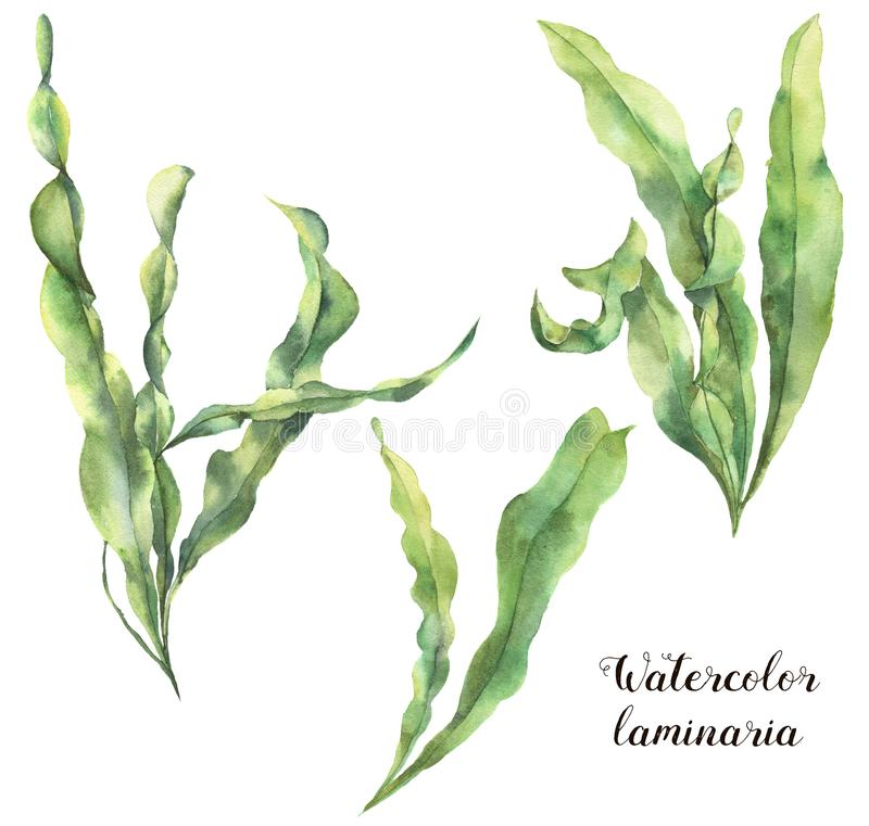 水彩昆布属植物集合 与海藻的手画水下的花卉例证在白色留给分支被隔绝 皇族释放例证