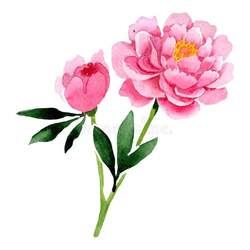 水彩桃红色牡丹花 花卉植物的花 被隔绝的例证元素 库存例证