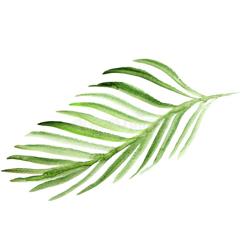 水彩棕榈树叶子 在白色背景隔绝的绿色叶状体例证 向量例证