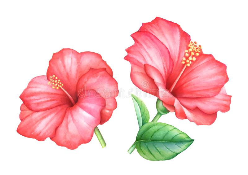 水彩红色木槿开花叶子 库存例证