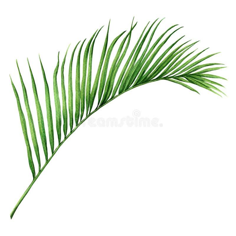 水彩绘画椰子,棕榈叶,在白色背景隔绝的绿色叶子 水彩手画例证热带exot 向量例证