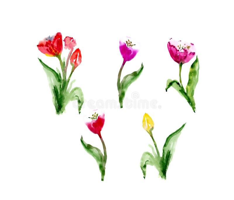 水彩花卉郁金香backgraund 被隔绝的春天例证 库存照片