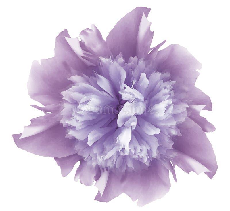 水彩花浅紫色的牡丹 在与裁减路线的白色被隔绝的背景 ?? o 库存照片
