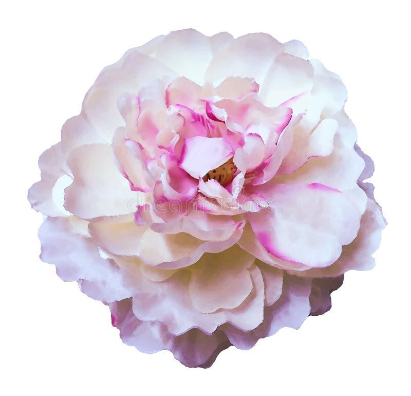 水彩花牡丹白桃红色在白色隔绝了与裁减路线的背景 自然 特写镜头没有阴影 庭院 免版税图库摄影