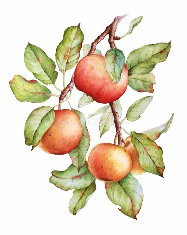 水彩苹果分支 皇族释放例证
