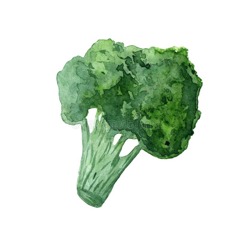 水彩菜硬花甘蓝圆白菜的例证在白色背景的 免版税库存照片