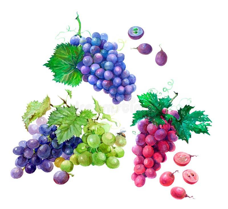 水彩葡萄在白色背景隔绝的果子例证 库存例证