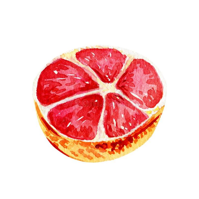 水彩葡萄柚被隔绝的一半 皇族释放例证