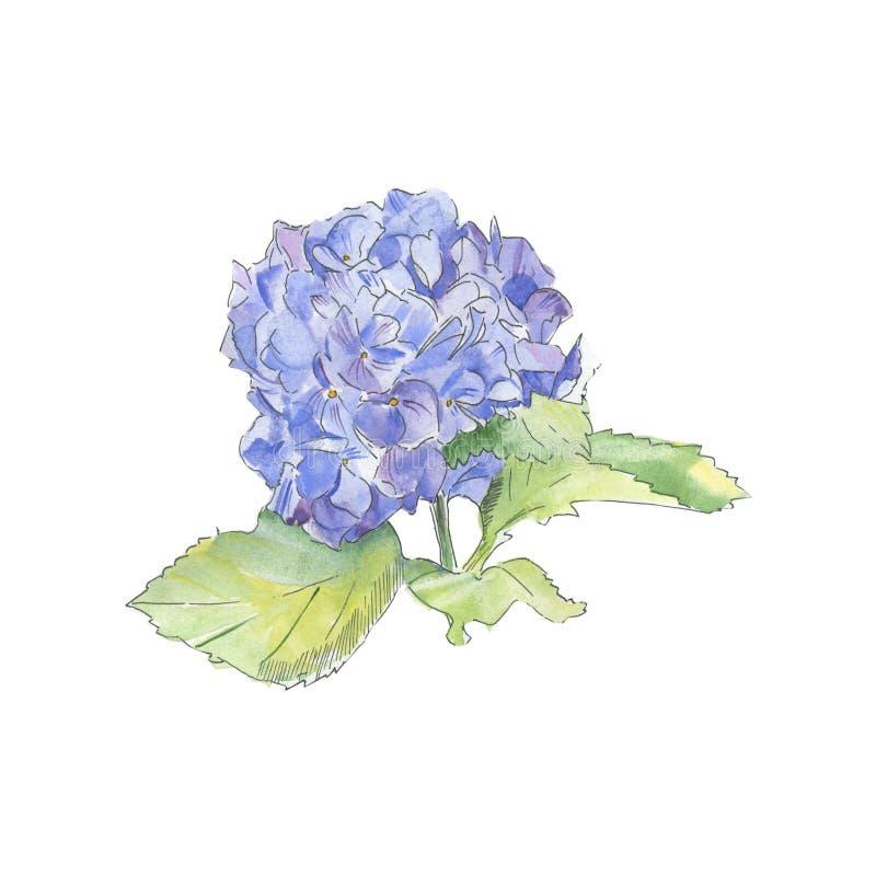 水彩蓝色purle八仙花属花卉植物的花 被隔绝的野生春天叶子野花 库存例证