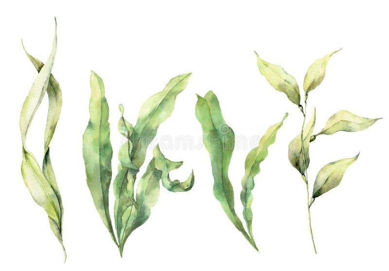 水彩设置与昆布属植物 与海藻的手画水下的花卉例证在白色留下分支被隔绝 库存例证